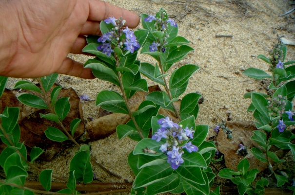 Vitex Trifolia, The Arabian Lilac