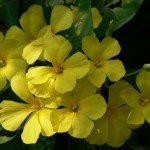 Lovely Winter Blooming Shrub: Yellow Flax