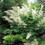 Aruncus Dioicus, The Goat's Beard Plant