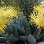 Winter Flowering Miniature Succulents: Cheiridopsis