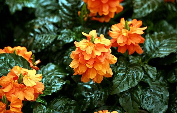 Crossandra Infundibuliformis, The Firecracker Flower