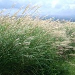 Ornamental Grass for Lovely Landscapes: Miscanthus Sinensis