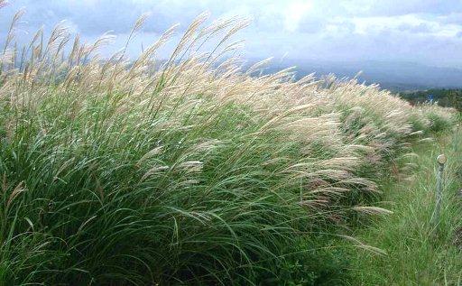 Miscanthus Sinensis Grass