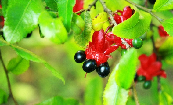 Ochna Serrulata, The Mickey Mouse Plant