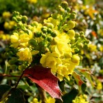 Evergreen, Ornamental Shrubs for Your Lovely Garden: Mahonia