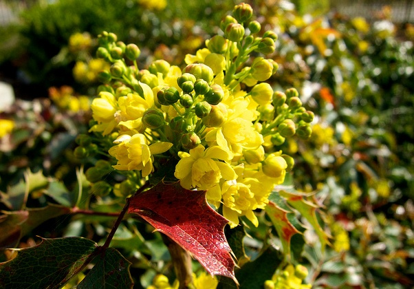 Ornamental, Flowering Shrub: Mahonia