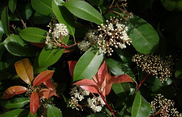 Photinia Glabra, Colorful Shrub