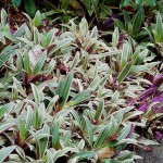 Quick Growing, Tropical Ground Cover: Rhoeo Spathacea