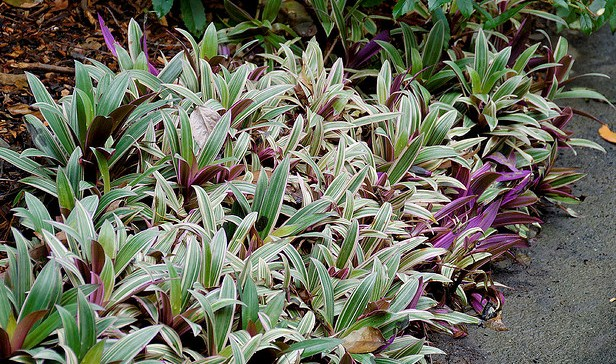Rhoeo Spathacea, Ground Cover Plant