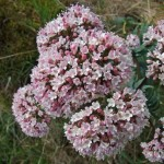 Summer Blooming Shrub for Beginners: Valeriana Officinalis