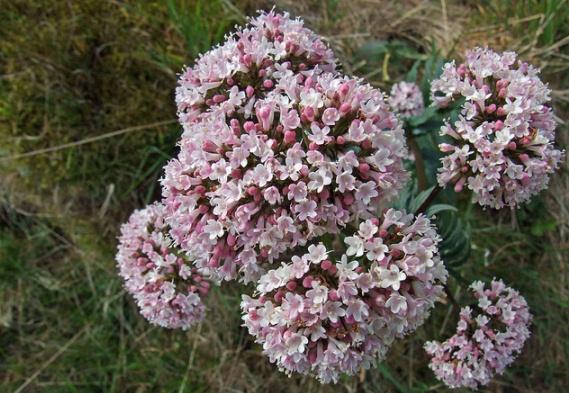 Valeriana Officinalis, Garden Valerian