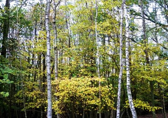 Betula Pendula Tree