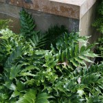 Ornamental Fern for Indoor and Outdoor Gardens: Holly Fern