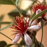 Feijoa: The Pineapple-Guava Fruit Plant