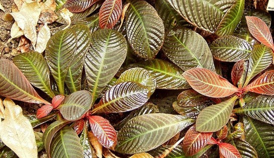 Hoffmannia Refulgens