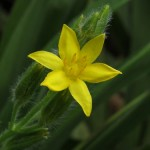 Small, Lovely and Hardy Flowering Plant: Hypoxis