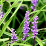 Easy to Grow Ground Cover & Landscape Plant: Liriope Muscari