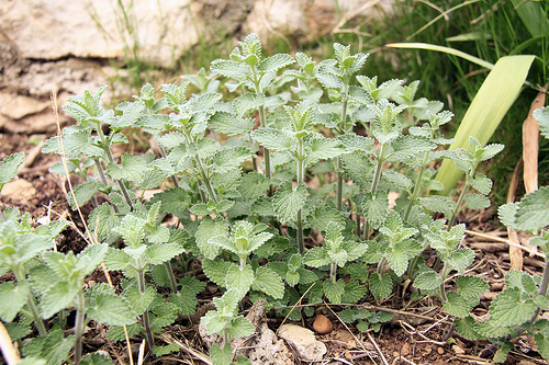 Nepeta cataria, The Catnip Plant