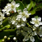 Evergreen Shrub for Beautiful Fences and Hedges: Pyracantha