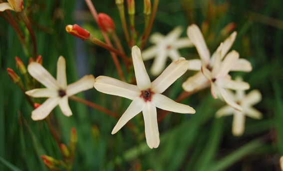 Winter Blooming Flowers of Ixia