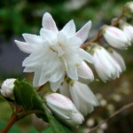 Hardy, Ornamental Flowering Shrub: Deutzia