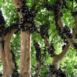 Jabuticaba, The Brazilian Grape Tree