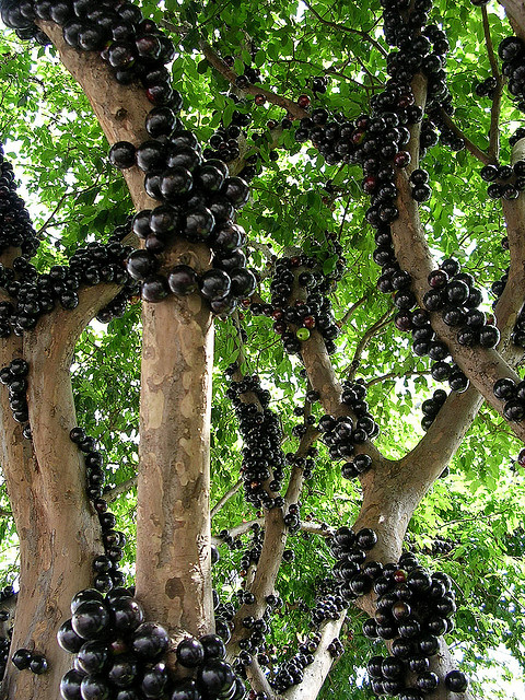 Jabuticaba, The Grape Tree