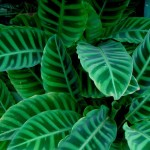 Lovely Foliage Plants for Pots and Gardens: Calathea