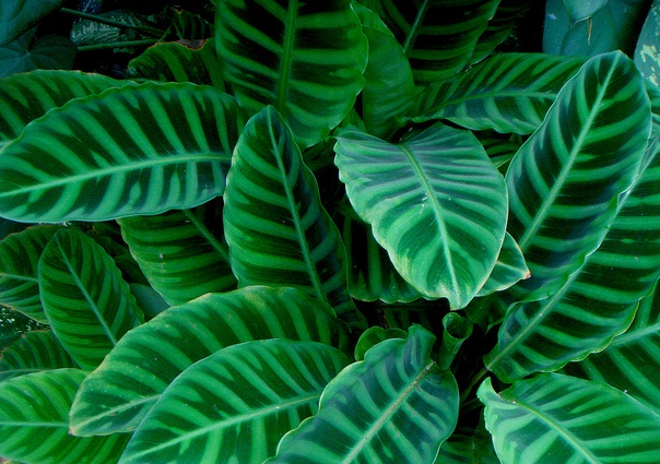 Calathea, The Zebra Plant