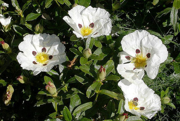 Cistus Ladanifer, The Rock Rose Shrub