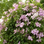 For Every Climate, There is One Clematis