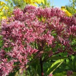 Flowering Shrubs for Borders and Landscapes: Eupatorium