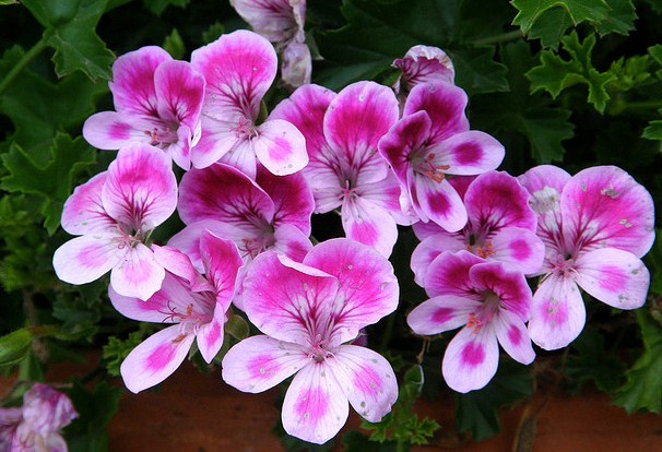 Pelargonium Garden Flowers