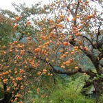 Sweet, Lovely and Ornamental: Persimmon Tree
