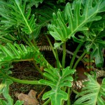 Easy Growing, Ornamental House Plants: Philodendron