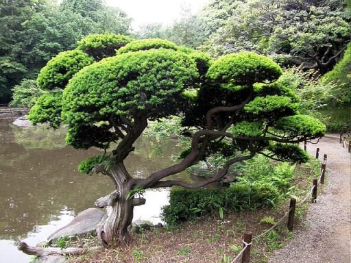 Podocarpus Macrophyllus, Kusamaki, Garden Tree