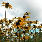 Lovely Rudbeckia for Lovely Gardens