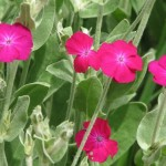 Lychnis coronaria, the Rose Campion