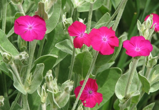 Lychnis coronaria, Image by M. Fletcher