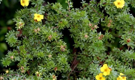 Potentilla fruticosa The Lovely Plants