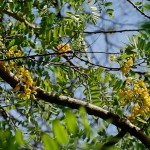 Evergreen Flowering Tree: Calpurnia aurea, The Wild Laburnum