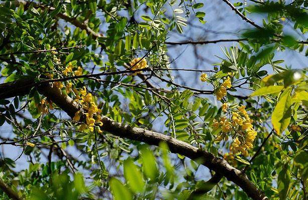 Calpurnia aurea, Wild Laburnum Tree