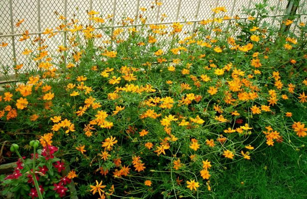 Cosmos Flowers Bed