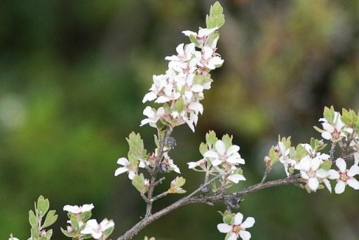 Leptospermum glaucescens