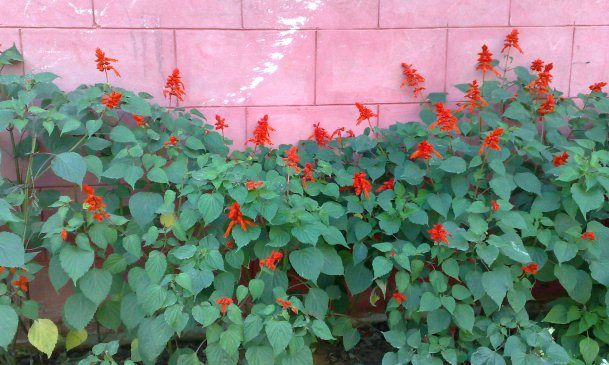 Salvias in bloom