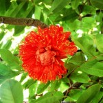 Brownea coccinea, the Rose of Venezuela