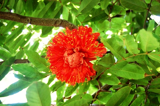 Brownea coccinea, the Rose of Venezulea