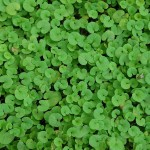 Lovely and Evergreen Ground Cover: Dichondra repens