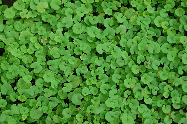 lovely and evergreen ground cover dichondra repens, Beautiful flower