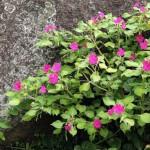 Lovely Flowering Plant for Tropical Gardens: Impatiens